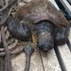 Caretta caretta recuperata allamata nel porto di Civitavecchia