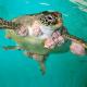La cura per un cancro delle tartarughe copiata dai tumori umani