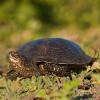 """La """"Emys orbicularis"""" è in pericolo di estinzione in Slovacchia"""