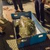 Recuperata nello stretto una tartaruga lunga un metro e mezzo