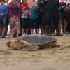 Tartaruga marina torna in mare dalla spiaggia di Chioggia
