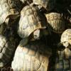 Rubate 13 tartarughe dal giardino di una casa nel salernitano