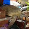 Tartaruga marina sequestrata dal bancone di un ristorante