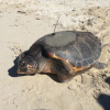 """Al via il progetto """"Marine Turtle Tracking"""" a Favignana"""