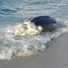 Tartaruga marina gigante trovata in provincia di Messina