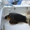 Tartaruga marina recuperata in un groviglio di lenza