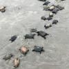 Oltre 80 tartarughe trovate morte in una trappola per granchi