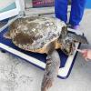 Tartaruga marina recuperata in Veneto con un buco sul capo
