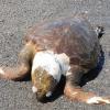 Tartarughe spiaggiano morte a causa dell'antropizzazione