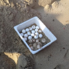 Uova di tartaruga marina sbucano improvvisamente tra i bagnanti