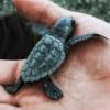 A Bova Marina schiudono in contemporanea due nidi di tartaruga