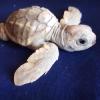 Nata tartaruga marina completamente bianca in Calabria