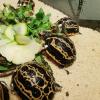 """Nate nove rare """"tartarughe ragno"""" all'Acquario di Genova"""