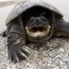 La tartaruga azzannatrice minacciata dall'inquinamento da mercurio