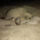In solo 48 ore, ecco il secondo nido di tartaruga nel trapanese