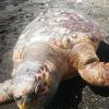 Grossa tartaruga marina trovata senza vita a Torre Annunziata (NA)