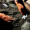 Tartarughe nascono sulla sabbia vulcanica di Torre Annunziata (NA)