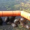 Tartarughe americane prelevate dal laghetto a spese del comune