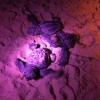 Ancora centinaia di nascite sull'arenile di S. Maria del Focallo