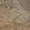 Santa Maria del Focallo: oltre 350 tartarughe nate in un mese