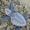 Marsala: nate 88 piccole tartarughe marine a Berbaro