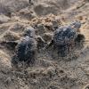 Schiude il nido deposto a luglio su una spiaggia di Noto (SR)