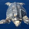 Tartaruga liuto di un metro e mezzo morta al largo delle Egadi