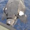 Grossa tartaruga liuto rinvenuta senza vita a largo di Loano