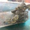"Multato ambulante per vendita di tartarughe ""Trachemys scripta"""