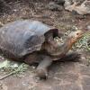 Galapagos: rubate 123 tartarughe terrestri giganti