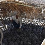 Oltre 7000 tartarughe raggiata sequestrate in un villaggio