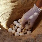 Trovato un nido di tartaruga con molto hatchlings già morti