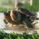 Tartaruga a due teste consegnata al rifugio per animali esotici