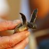Metà delle baby tartarughe morte ha plastica nello stomaco!