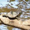 Trump sarà denunciato per non aver protetto le tartarughe