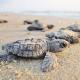 Ricompensa in denaro per chi trova un nido di tartaruga marina