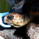 "Salvata una tartaruga marina ""impiccata"" in un cordame"