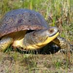 La tartaruga di Blanding minacciata dalla costruzione di un casinò
