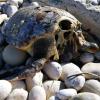 Puglia: tartarughe marine uccise dai pescatori per superstizione