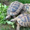 Ministero delle Finanze: allevare tartarughe produce reddito