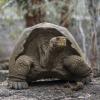 I conservazionisti rilasciano 155 tartarughe giganti alle Galapagos