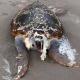 Tartaruga marina decapitata su una spiaggia di Anzio (RM)