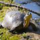 """In Canada, castori e tartarughe """"amici"""" per la sopravvivenza"""