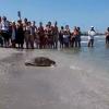 """Rimini: torna in mare una grossa """"Caretta caretta"""""""