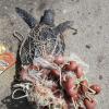 Due tartarughe morte sul litorale del comune di Manduria (TA)