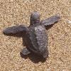 Nascono tartarughe dopo la più grande pulizia di una spiaggia
