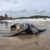 Grossa tartaruga liuto morta sulla costa uruguaiana