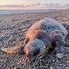 Giovane tartaruga marina rinvenuta senza vita nel messinese