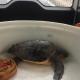 Domattina la tartaruga Adele ritornerà in mare ad Oristano