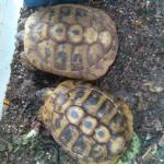 Denunciato commerciante per possesso di tartarughe senza documenti
